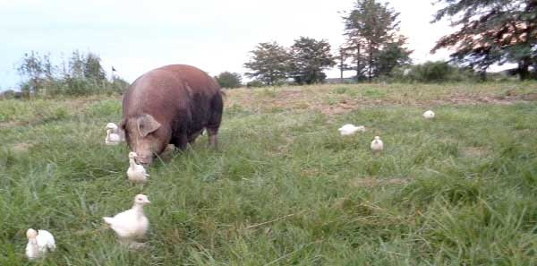 A pig in a pasture along with some fowl.