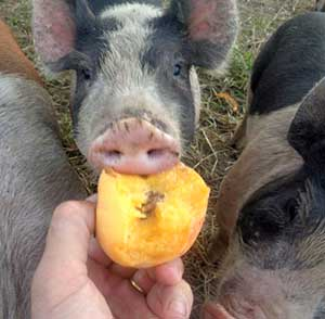 A pig eating a peach from a person's hand.