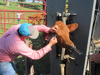 Putting treatment on cow's pinkeye