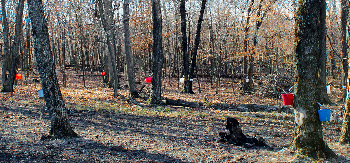 Red, white and blue buckets dot the woods near Mark Twain Lake where maple trees produce sap for syrup made by Marine veteran Jeremy Beaver. Beaver returned to his rural roots after serving two tours of duty as a U.S. Marine in Iraq.