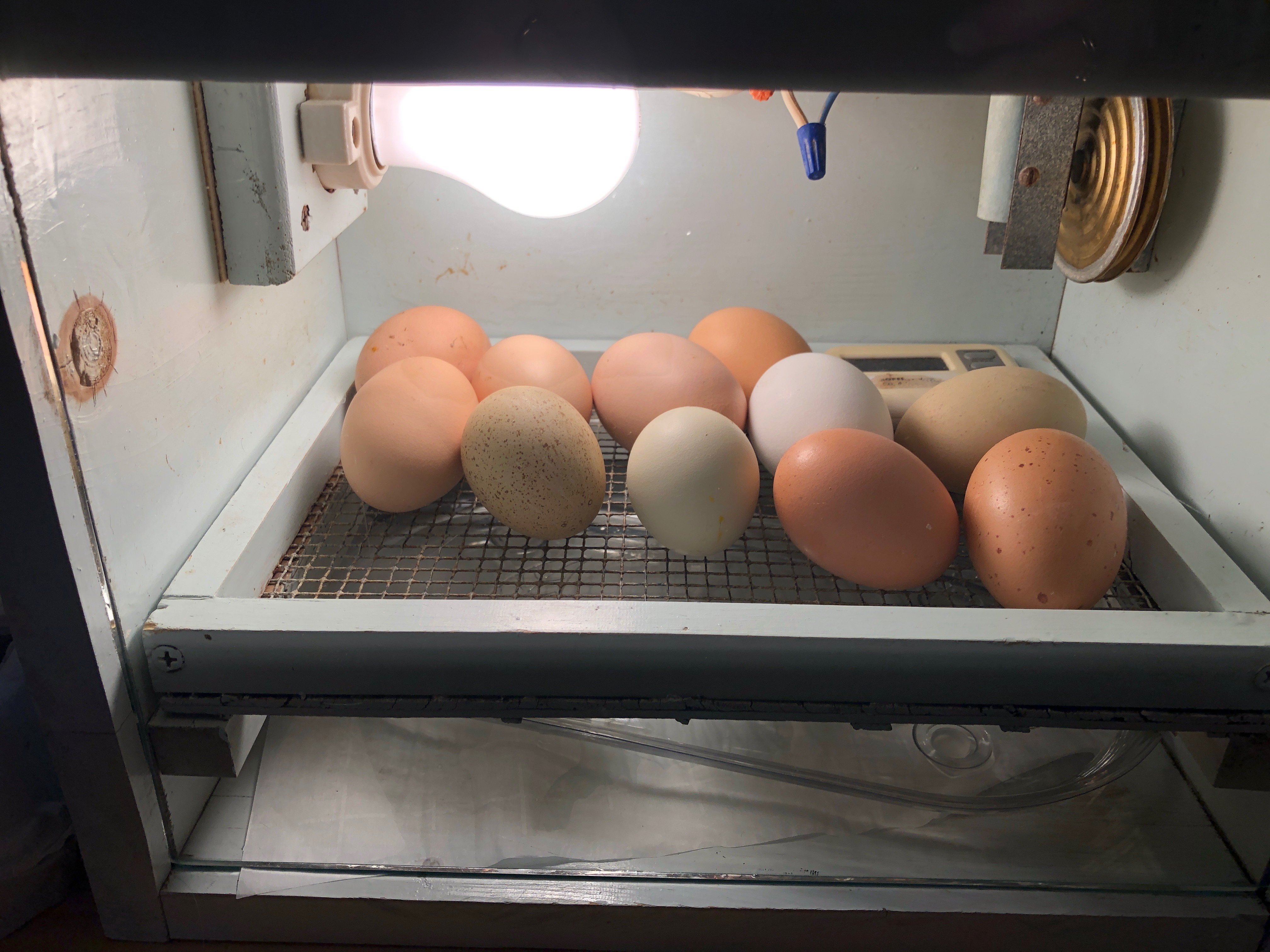 State extension specialist Laura Browning brought three incubators to her Boone County home so the eggs could continue to develop. Photo by Laura Browning.