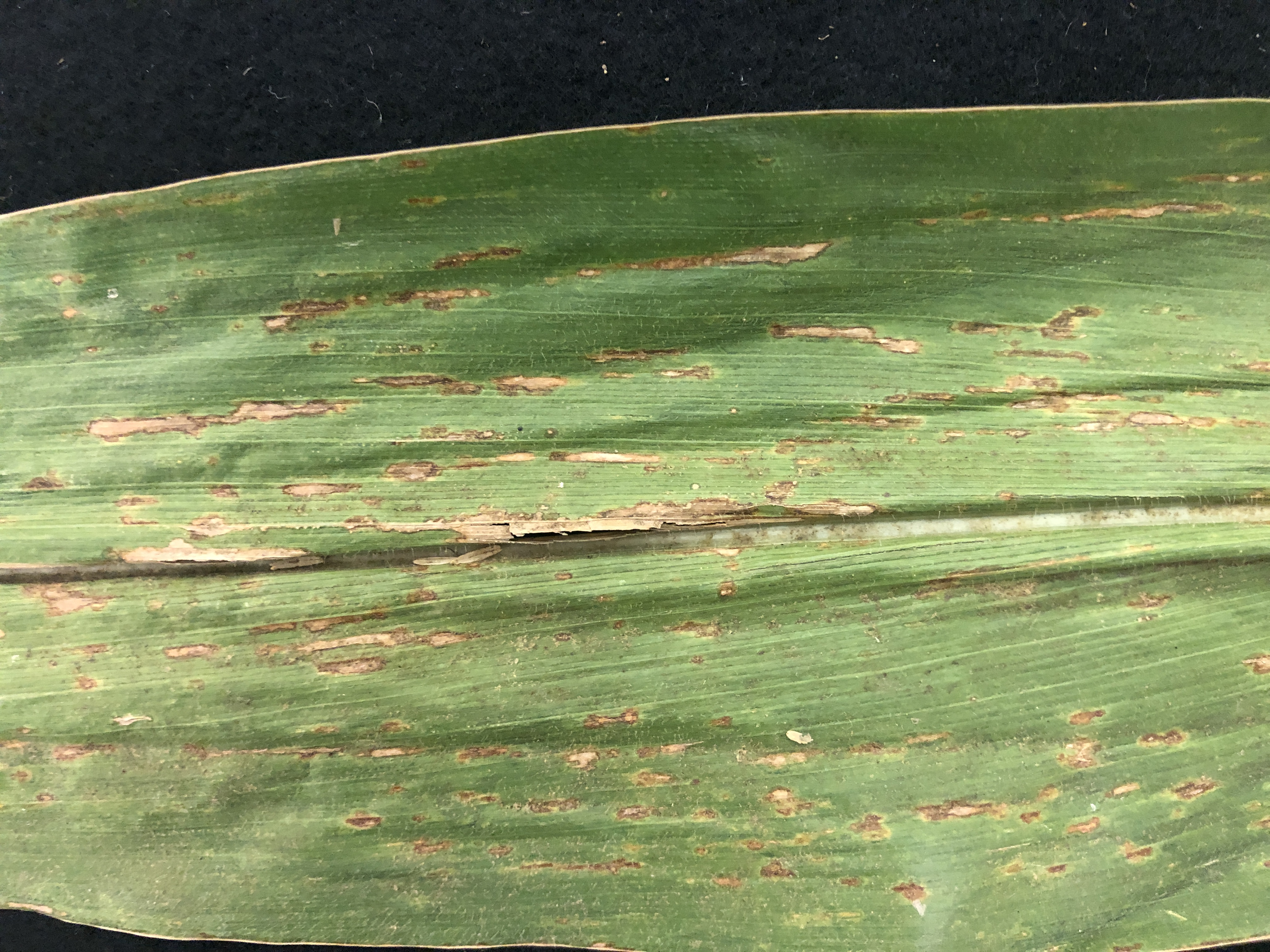 Scout for two emerging corn diseases in Midwest