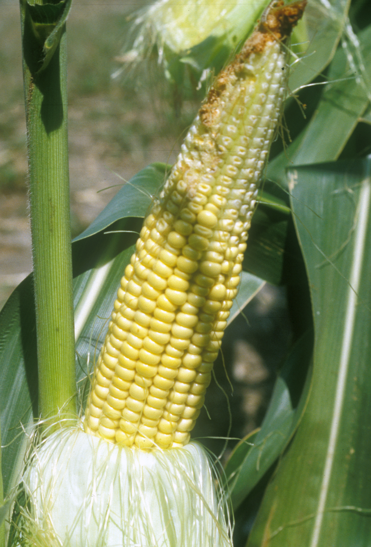 Figure 4: Aborted kernels. Some tip kernels never fertilized. Others in the top half of the ear stopped growing. Arrested kernels look different from unfertilized ovules in size and color.