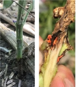 Soybean gall midge, left, shows as darkened soybean stem. Right, several soybean gall midge larvae feed beneath the soybean epidermis. Midge may be bright orange or white.