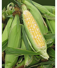 Fresh ears of corn with husks