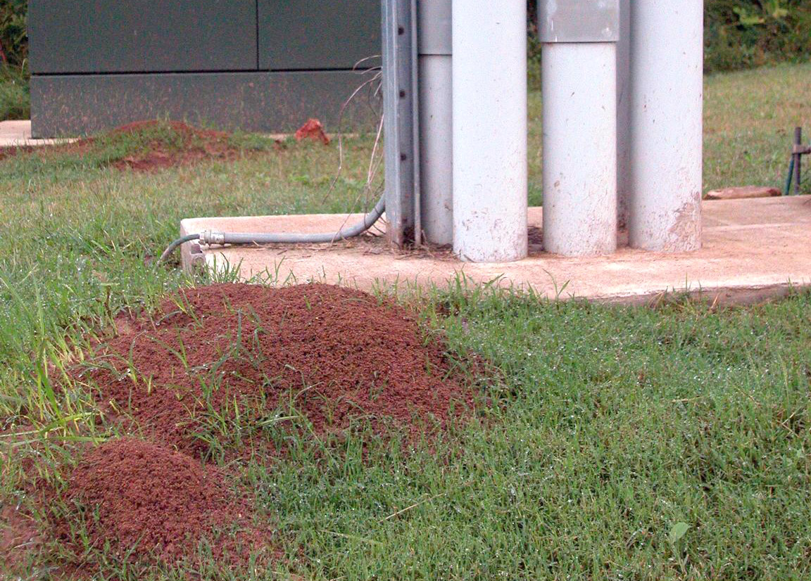 Open Red imported fire ant mounds near high-voltage electrical unit in Fayetteville, Ark.