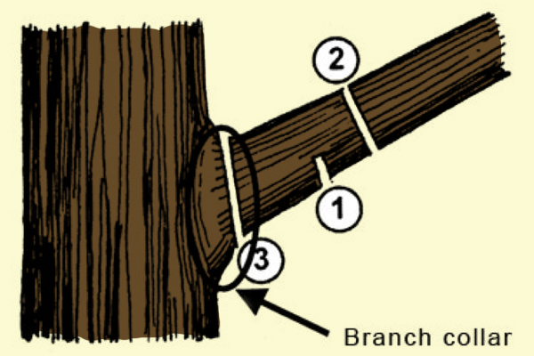 The three-cut method prevents tearing off bark along the branch to the trunk.
