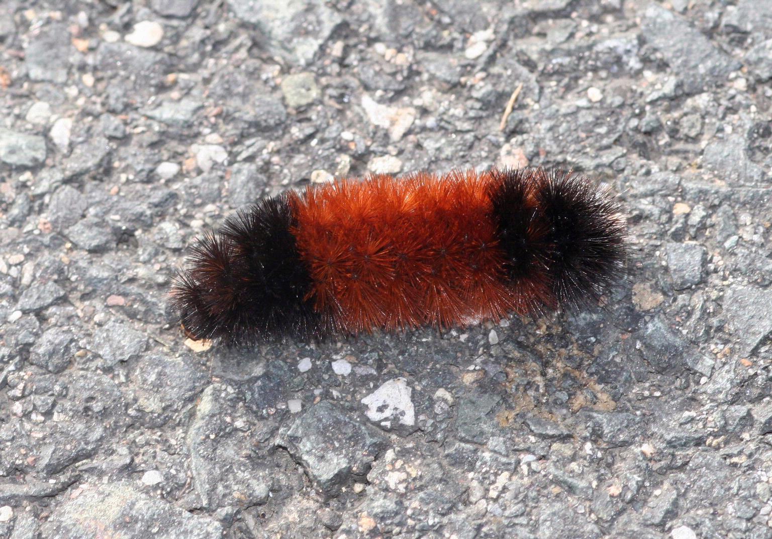 Woolly bear caterpillar.