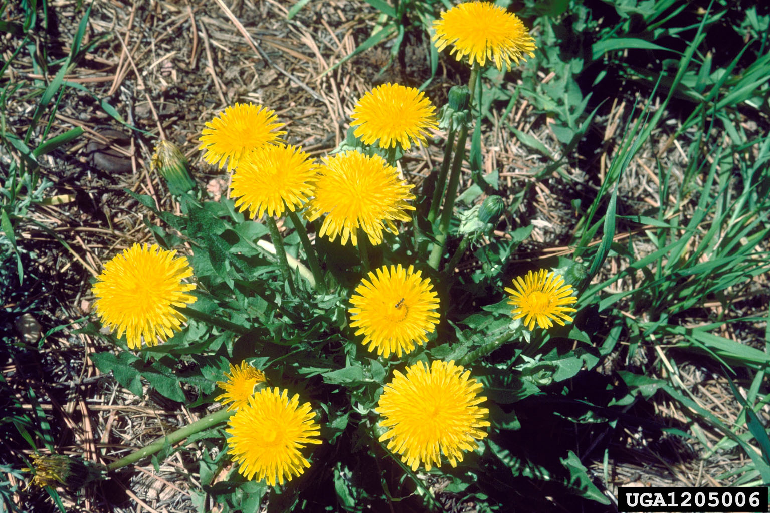 Dandelion flowers. Dave Powell, USDA Forest Service (retired), Bugwood.org. Shared under a Creative Commons license (CC BY 3.0).