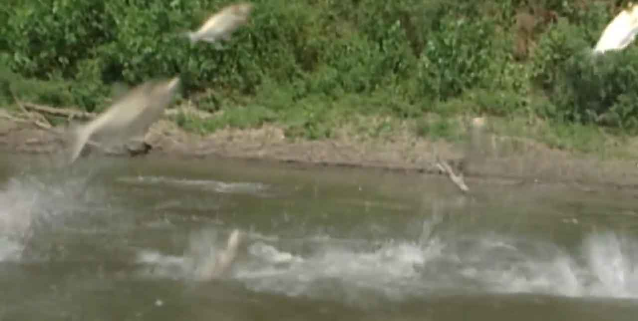 Video News Story: Taking a bite out of carp