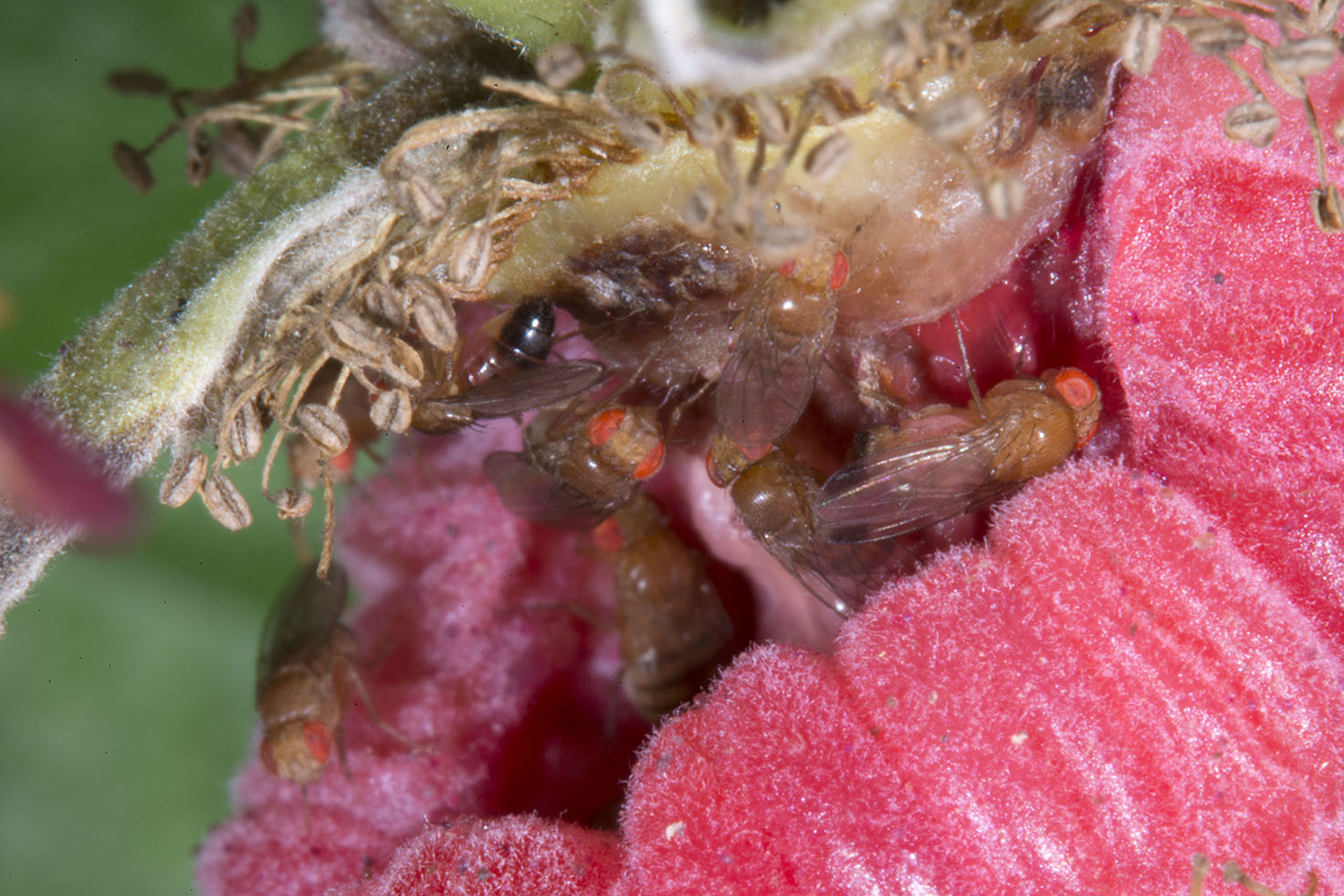 Both male and female SWD adults are seen inside this raspberry fruit