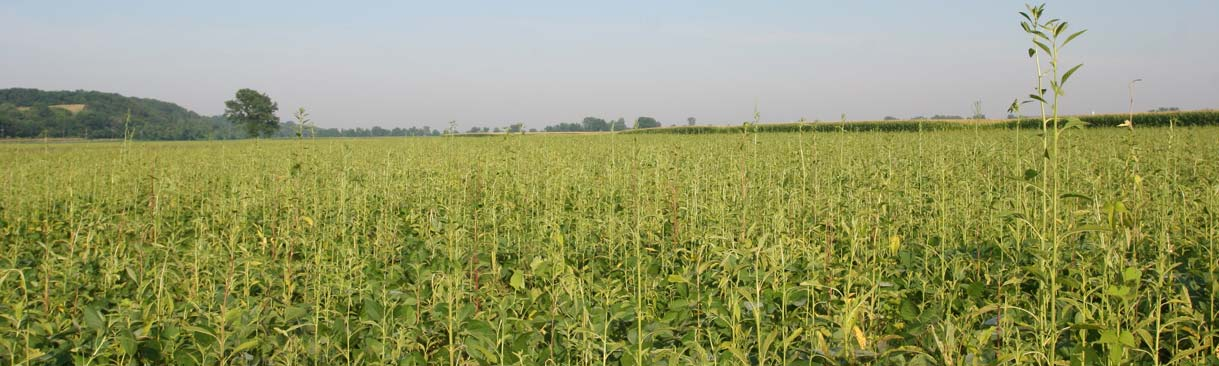 A crop field with weeds.