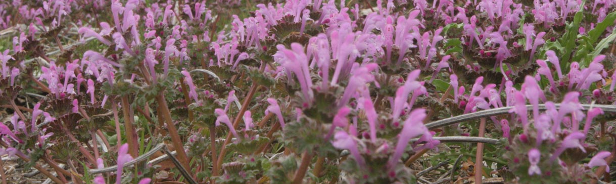 A field infested with henbit.