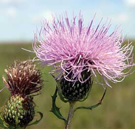 A tall thistle flower and bud