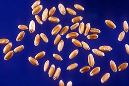 Link to description of hard red winter wheat seeds.