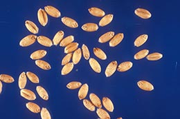 Link to description of soft red winter wheat seeds