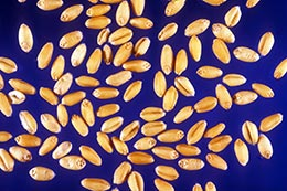 Link to description of soft white wheat seeds.