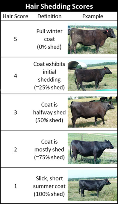 Figure showing examples of hair shedding scores from 5 (full winter coat) to 1 (slick, short summer coat)