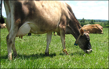 A dairy cow grazing.