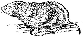 The prairie vole