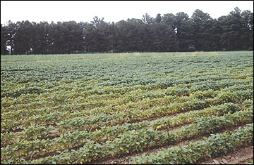 Stunted, yellow soybean plants