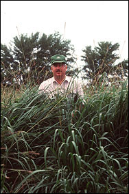 Bunch growth behavior of eastern gamagrass