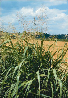 Mature johnsongrass