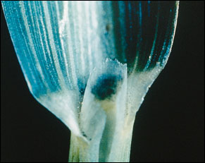Johnsongrass membranous ligule