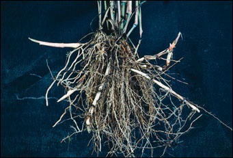 Rhizomes of johnsongrass covered with orange scales
