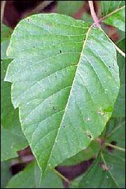 Poison ivy leaf characteristics