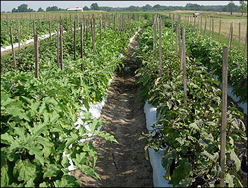 Staking eggplants improves marketable yield and quality