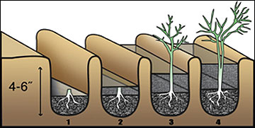 Healthy, one-year-old asparagus crowns should be planted 4 to 6 inches deep in a furrow