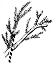 Prune evergreen shrubs