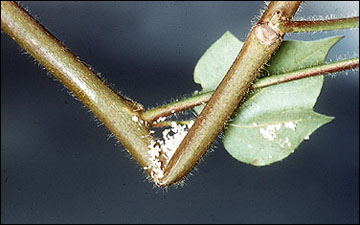 Damage from European corn borer