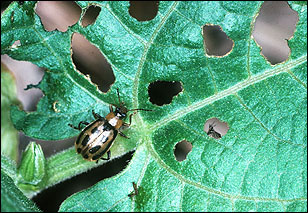Bean leaf beetle and foliar damage