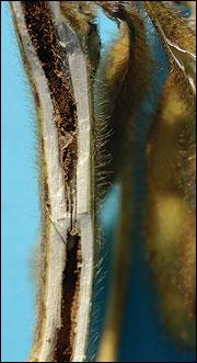 Dectes stem borer entrance hole in soybean stem. (Photo: Michael L. Boyd)