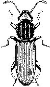 Saw-toothed grain beetle