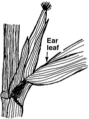 The entire ear or shoot leaf