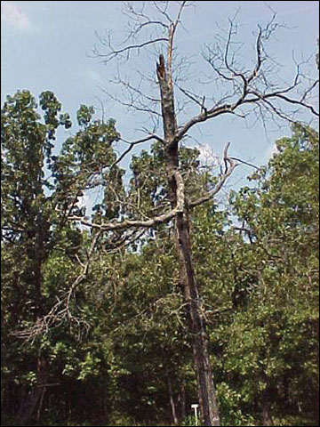 Den trees and snags provide important habitats and sources of food and cover for many wildlife species in Missouri