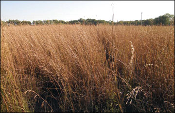 A variety of native warm-season grasses have been considered as crops for biofuel