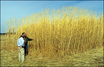 Missouri landowners are becoming increasingly interested in producing miscanthus