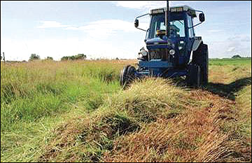 To retain important cover for nesting wildlife, delay harvest of switchgrass until after a killing frost