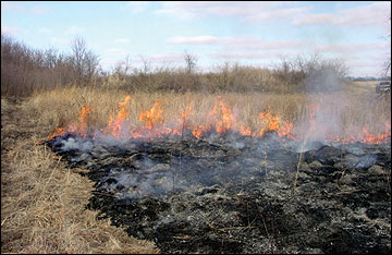 Prescribed fire, an effective tool for managing native warm-season grass stands, can be used to control woody invasion