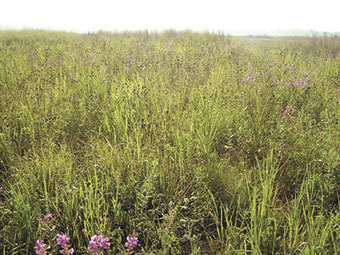 A field of forbs and legumes mixed with warm-season grasses.