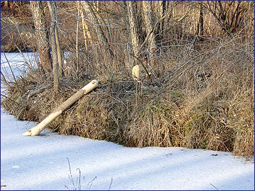Beavers can damage or kill trees and cause problems when their dams flood timber and bottomland crop fields.