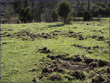 Feral hogs can damage a pasture or field by their rooting activity.
