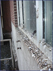 Pigeon droppings can be a health hazard.
