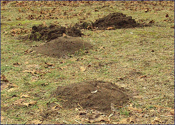 Moles can can be a nuisance and cause damage to lawns and turf grasses by their tunneling activity and pushing up soil into mole hills.