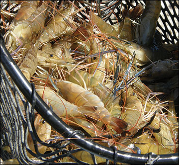 Prawns can be harvested by seining or netting