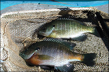 Large male bluegill and sunfish hybrid